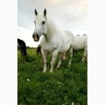 Продам лошадей (першерон)