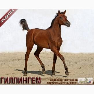 Продается арабский жеребчик ГИЛЛИНГЕМ