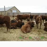Продаю бычков Калмыцкой породы
