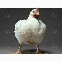 Бройлер кобб500, цыплята, подрощенные