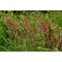 ООО НПП «Зарайские семена» продает семена овсяницы красной оптом и в розницу