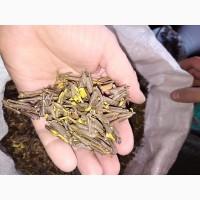 Саган Дайля-Рододендрон Адамса (Rhododendron adamsii)