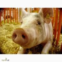 Продаем мясо свинины, субпродукты, полуфабрикаты, Удмуртская Республика