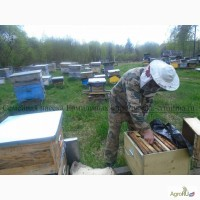 Пчелопакеты карпатской породы. Смоленск 2017