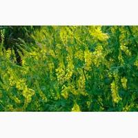 Семена донника желтого от 40 тонн