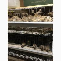 Продаю, мясо перепелов, яйцо, живых перепелов