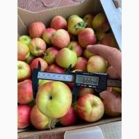 Яблоки сорт Санрайс (урожай 2021)