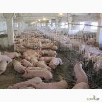 Свиней сальной породы
