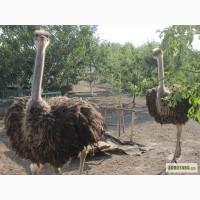 Продаются страусы