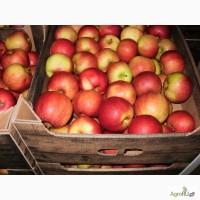 Яблоки оптом 65+ от производителя