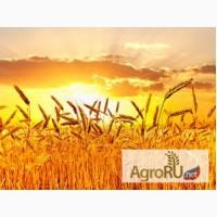 Семена Озимой пшеницы Баграт