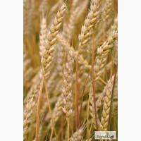 Семена озимой пшеницы сорта Юка, Юбилейная 100