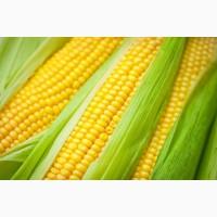Семена кукурузы Краснодарский 291, 194, 385