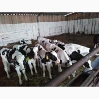 Агрофирма авидо продаёт телят мясной породы