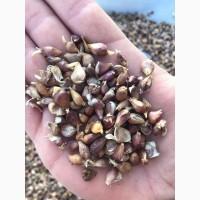 Элитные семена чеснока ВОЗДУШКА