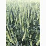 Семена пшеницы озимой Лидия, Лилит, Находка, Полина, Станичная, Танаис, Шеф, Этюд