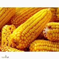 Семена кукурузы НК Фалькон Syngenta, ДКС4014 Monsanto