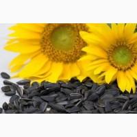 Семена подсолнечника (гибриды трёхлинейные)