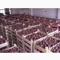 Продам оптом продовольственный картофель