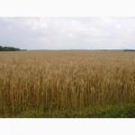 Семена яровой мягкой пшеницы