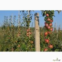 Cвежие яблоки из Белоруссии