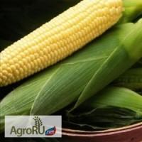 Семена сладкой кукурузы Спирит F1 (Сингента)