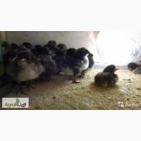 Цыплята Джерси, Мехеленская кукушка, Мораны