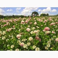 ООО НПП «Зарайские семена» на постоянной основе продает семена клевера гибридного