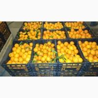 Предлагаем к приобретению мандарины Миховайс по цене от производителя