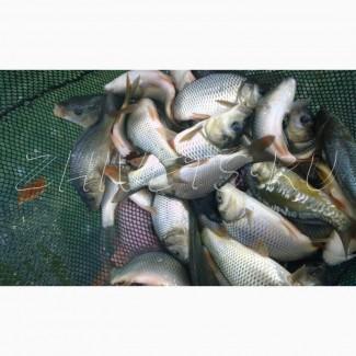 Продаем малька (рыбопосадочный материал)