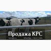 Продажа коров дойных, нетелей молочных пород в Азербайджан