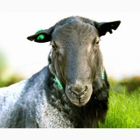 Овцы романовской породы племенные