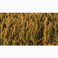 Семена Озимой пшеницы Капризуля, Дон107, Лилит