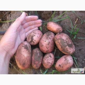 Картофель ранний 2016г