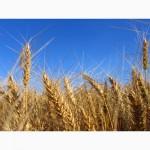 Поставим пшеницу 4 класса