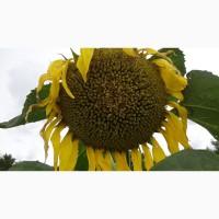 Гибриды семена подсолнечника НС Х 6006, НС Х 6007 (Нови Сад) - Express Sun