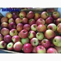 Яблоки оптом сорт Пинова