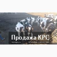 Продажа коров дойных, нетелей молочных пород в Армению