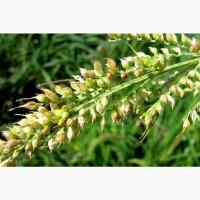 Семена просо- Элитные