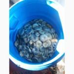 Грибы грузди боровые(белянка) солёно-отварные