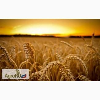 Поставим пшеницу 5 класса