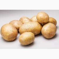 Картофель, сорт Зорочка оптом