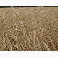 Семена пшеницы яровой Ирень (ЭС, РС1)