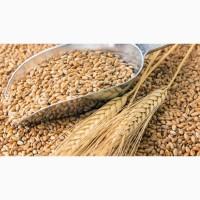 Семена пшеницы яровой Злата ЭС