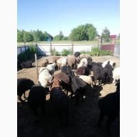 Реализуем мясо баранины (эдельбаевской породы)
