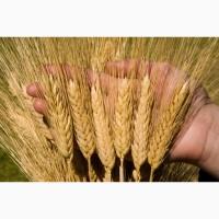 Семена озимой пшеницы среднеспелый сорт Алексеич