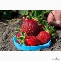 Продам рассаду земляники садовой (клубники) Амулет (с 15 апреля 2017)