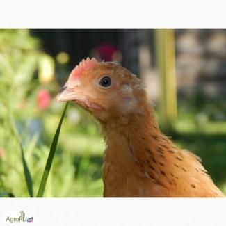 Цыплята чистой породы «Кучинская Юбилейная»