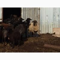 Продаю баранов и овец