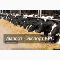 Продаем дойных коров, молодняк КРС